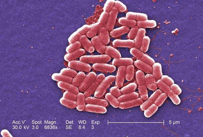 Escherichia coli, ici à l'image, est la bactérie la plus célèbre de la flore intestinale. On trouve aussi des dizaines d'autres espèces qui profitent de notre système digestif pour se développer. En contrepartie, elles régulent nos taux de sérotonine, qui contribuent au bien-être ! © Janice Haney Carr, CDC, DP