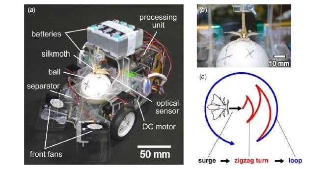 Sur l'image A, on voit le papillon (silkmoth) posé sur la balle de polystyrène (ball) dont les mouvements sont détectés par un capteur optique de souris informatique (optical sensor) puis analysés par le processeur (processing unit) qui transmet la commande aux deux moteurs électriques (DC motor). Afin de compenser le fait qu'il n'est pas au sol, deux petits ventilateurs placés à l'avant du robot (front fans) orientent les phéromones vers le papillon. Un séparateur (separator) divise le flux en deux canaux distincts pour augmenter le réalisme sensoriel. L'image C schématise la danse nuptiale qu'effectue le papillon dès qu'il détecte les phéromones femelles. © Research Center for Advanced Science and Technology, université de Tokyo