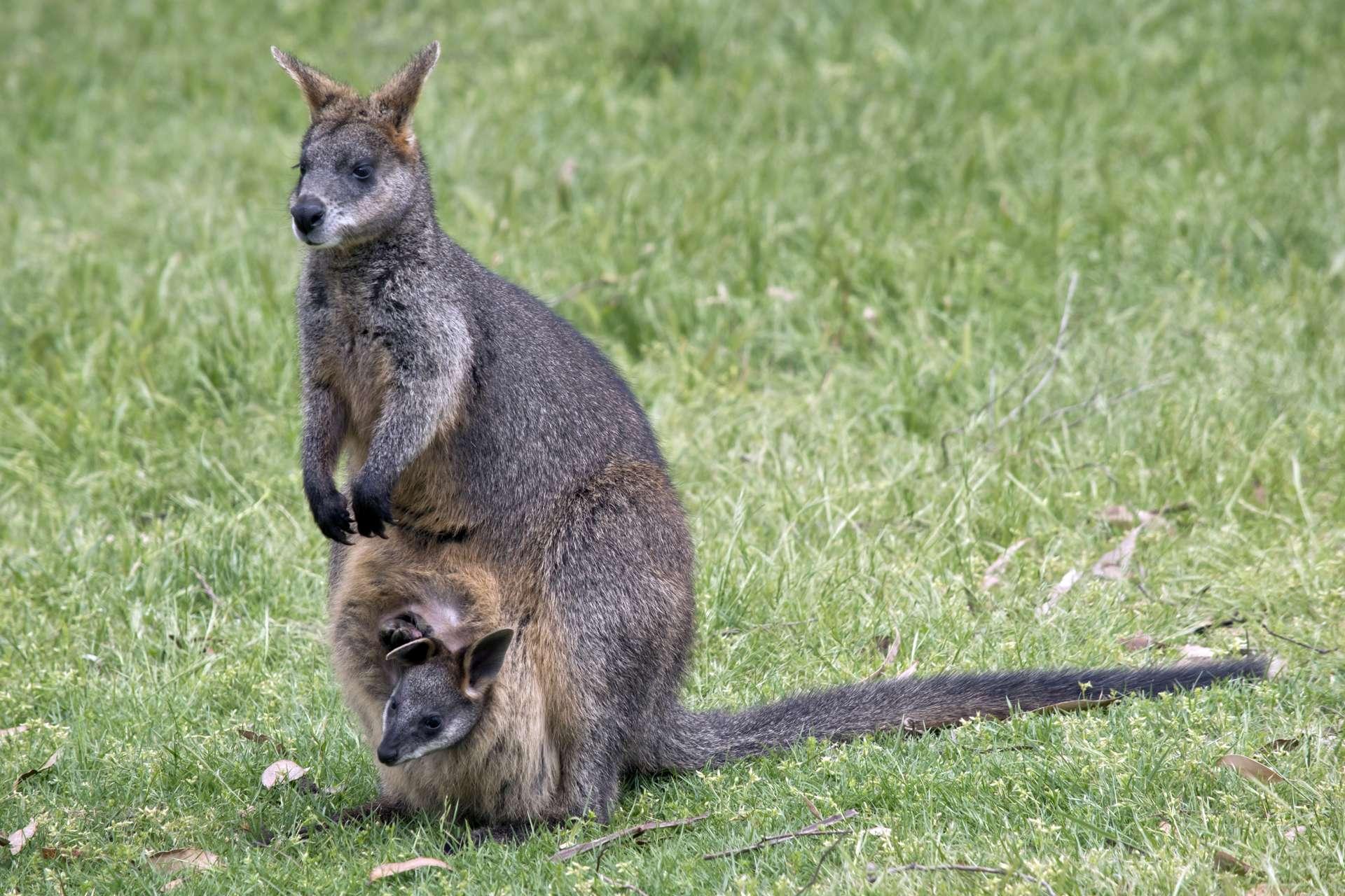 Les wallabys bicolores possèdent deux utérus. © Susan flashman, Adobe Stock