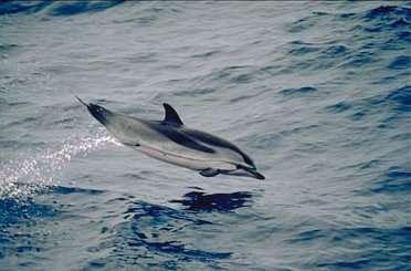 Photo d'un dauphin bleu et blanc. © Scott Hill, NOAA, domaine public