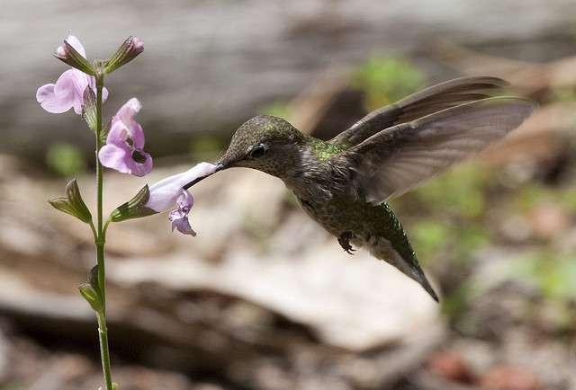 Le colibri est capable de réaliser un vol stationnaire et il lui est donc possible de prélever le nectar des fleurs et contribuer ainsi à la pollinisation, un service écologique offert par la nature. © San Diego Shooter, Flickr, cc by nc nd 2.0