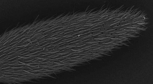 Photographie de l'extrémité d'une antenne d'Harpegnathos saltator, une fourmi sauteuse, réalisée au microscope électronique à balayage. Les cils correspondent à des sensilles. © Anandasankar Ray