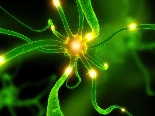 Les neurones du noyau sous-thalamique peuvent à nouveau efficacement produire de la GABA, qui diminue les symptômes de la maladie de Parkinson. © DR