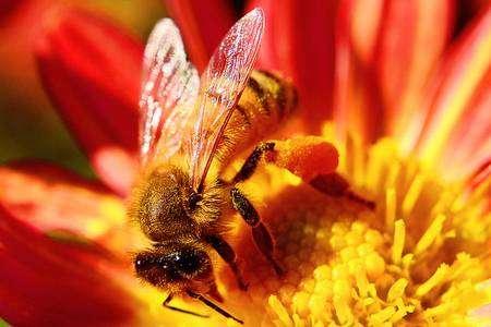 Le parasite de l'abeille asiatique a colonisé l'abeille domestique européenne. © Toshihiro Gamo, Flickr, CC by-nc-nd 2.0