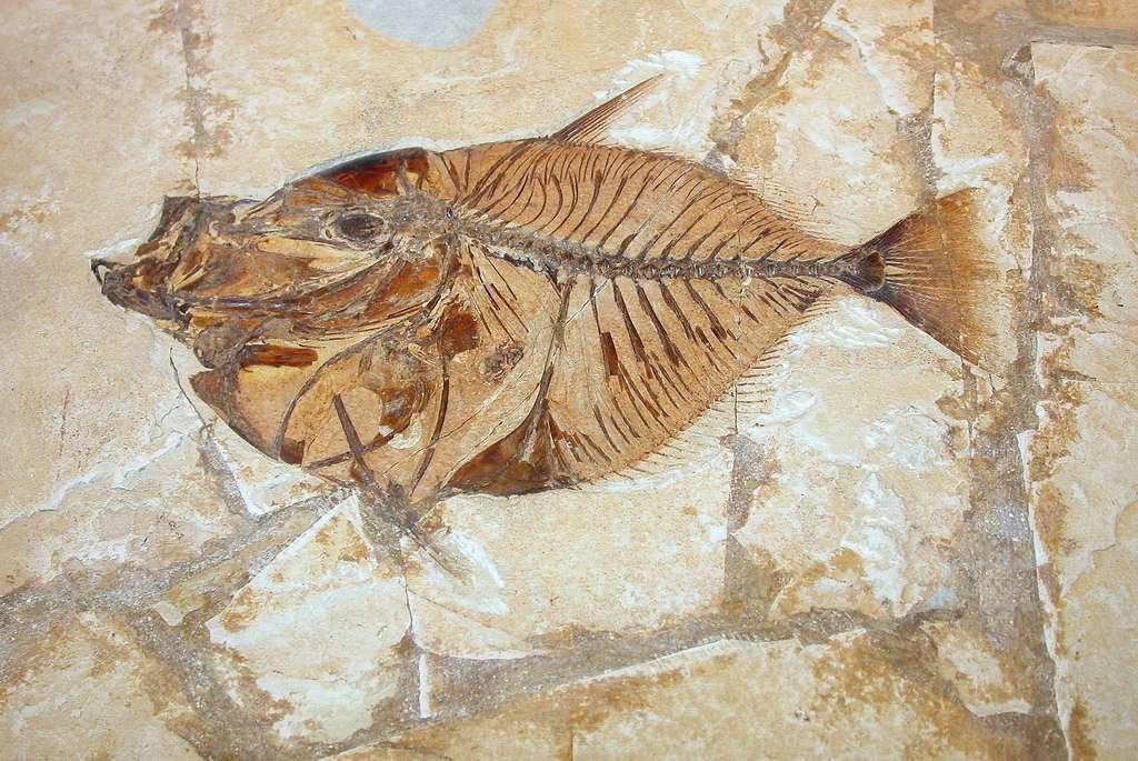 Le plus vieux fossile du monde, qui n'est pas ce poisson, a été découvert en Australie. Il s'agirait des restes d'un être unicellulaire qui a vécu voici 3,4 milliards d'années. © nardino, Flickr, cc by nc sa 2.0