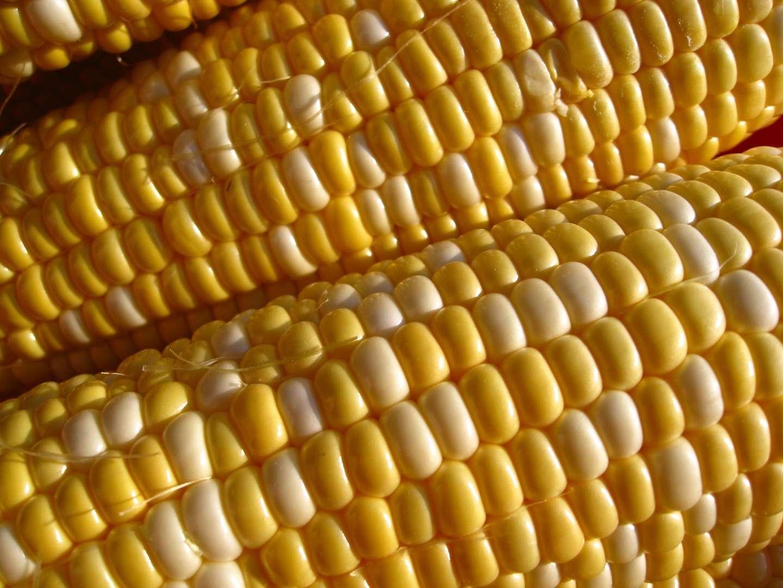 Dans son étude, Gilles-Éric Séralini accuse le maïs NK603 de Monsanto ainsi que le Roundup, le pesticide qu'il tolère, de favoriser l'apparition de tumeurs chez les rats qui en avalent. D'après l'Efsa, ce travail n'est pas valable. © cammy♥claudia, Fotopédia, cc by nc sa 2.0