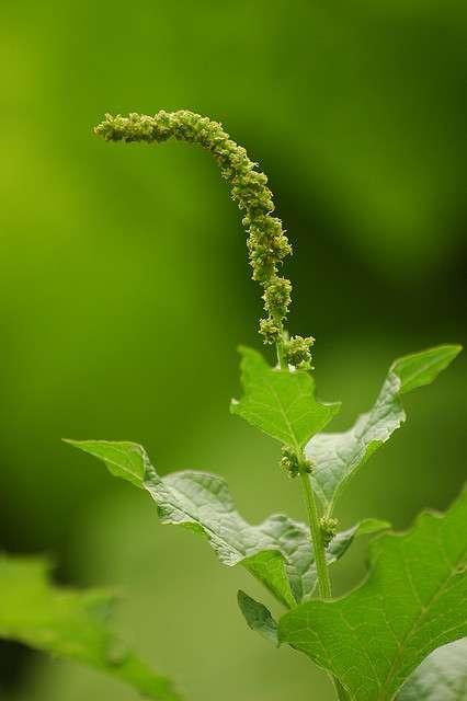 L'épinard sauvage est un nitrophyte : il se développe plus particulièrement sur les sols enrichis en nitrates. © AnneTanne CC by-nc-sa 2.0