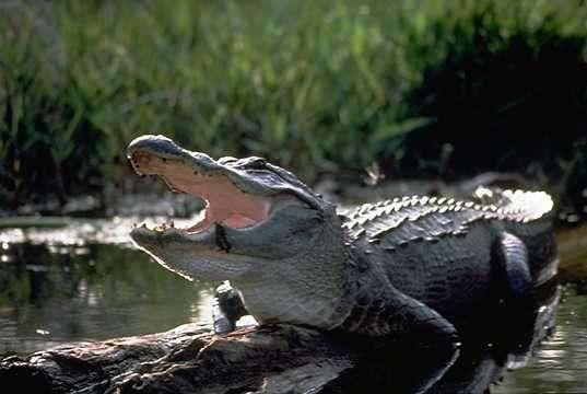 Photo d'un alligator d'Amérique. © U.S. Fish and Wildlife Service, domaine public