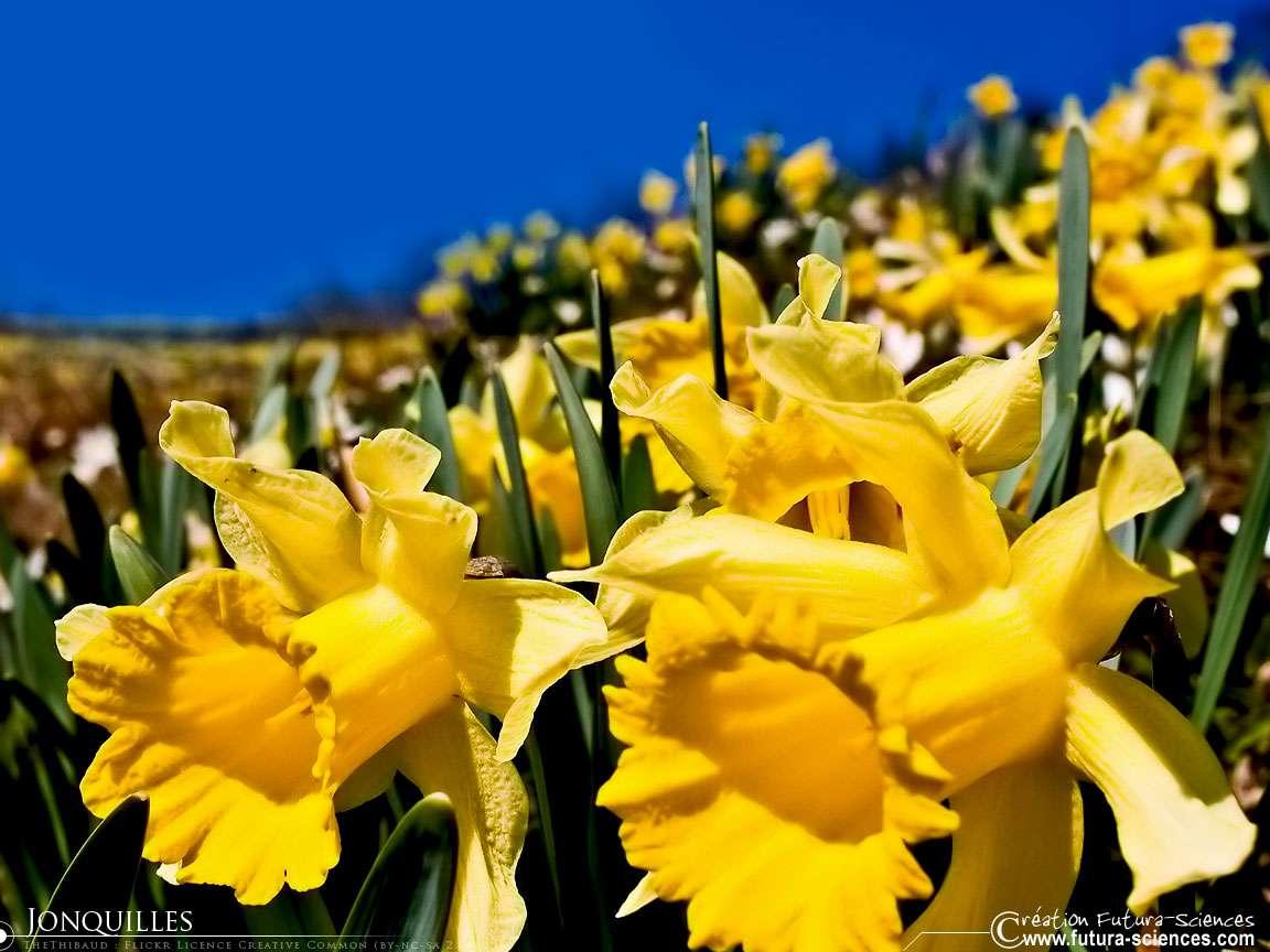 Pour saluer le retour du printemps, Futura-Sciences vous propose une grande variété de fonds d'écran, comme ce joli champ de jonquilles. © Futura-Sciences
