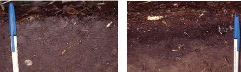 Comparaison entre mull (à gauche) et moder (à droite), deux formes différentes d'humus. Le mull montre une litière très mince, restant moins d'un an à la surface du sol, au-dessus d'un horizon grumeleux montrant un mélange intime de matière organique et de matière minérale : ce travail d'incorporation est réalisé principalement par les vers de terre. © DR J.-F. Ponge