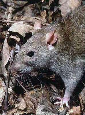 Rattus norvegicus, le rat partout ! © USA.gov, domaine public
