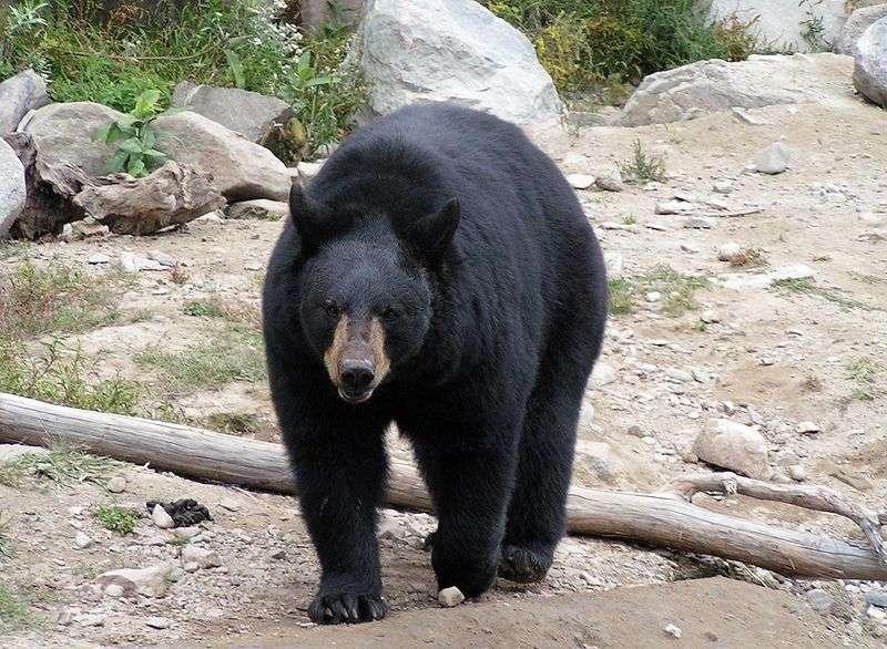 Photo d'un ours noir. © Diane Krauss, GNU Free Documentation License, version 1.2