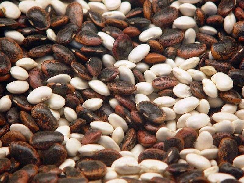 Il existe différentes variétés de haricots qui peuvent différer par la couleur des graines : haricots rouges, blancs, etc. Le haricot commun serait passé par deux domestications distinctes. © Apogr, Wikimedia Commons, cc by sa 3.0