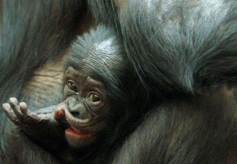 Comme les petits humains, les jeunes bonobos passent par les mêmes épreuves pour apprendre à gérer leurs émotions et mieux vivre en société. Le soutien d'une mère est un atout de poids. © Visionshare, Flickr, cc by nc sa 2.0