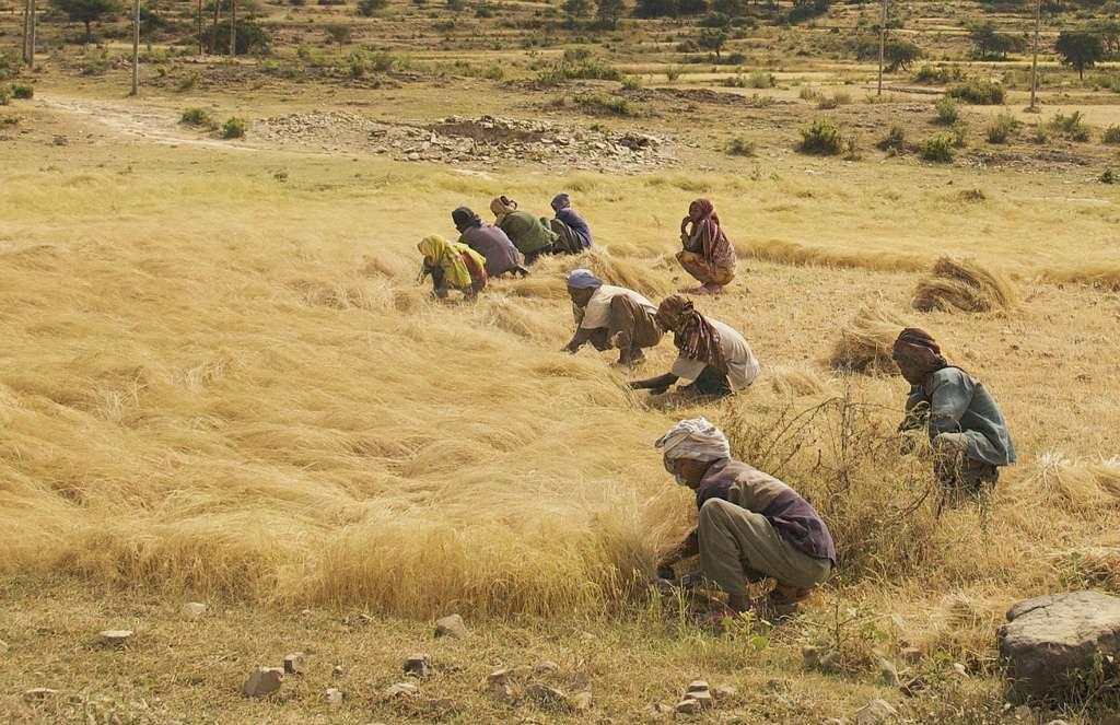 Dans les champs, les femmes éthiopiennes ramassent les grains de teff. Cette céréale sera-t-elle un jour aussi populaire que le quinoa ? © A. Davey, Flickr, cc by 2.0