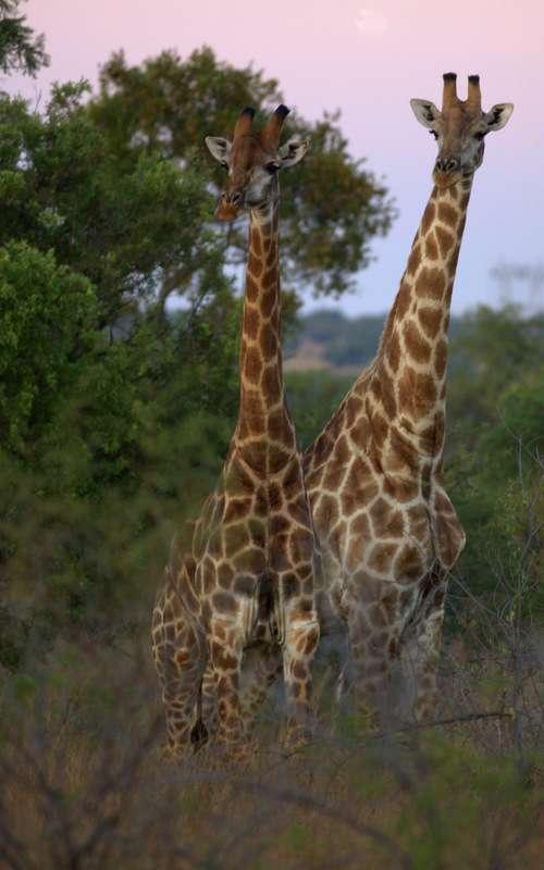 Certaines girafes atteignent 5,8 m de haut. Leur cou, même s'il est long, ne possède que sept vertèbres, comme chez la plupart des mammifères. Ces animaux se battent parfois en se donnant des coups de tête. Les ossicônes peuvent alors occasionner des blessures. © ParaScubaSailor, Flickr, cc by nc sa 2.0