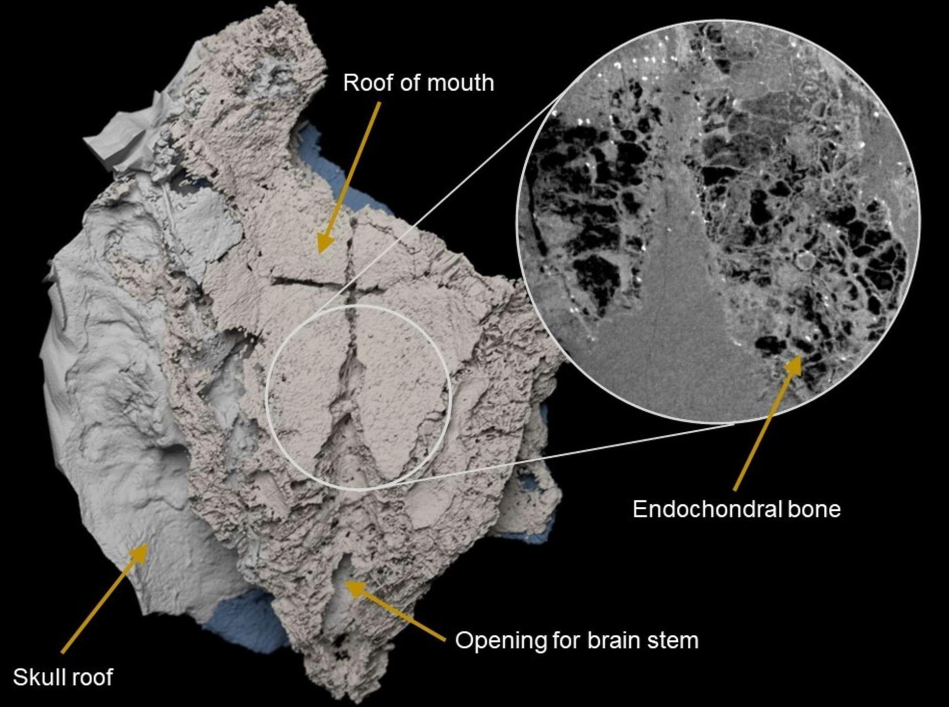Voici un modèle 3D virtuel du fossile de Minjinia turgenensis, dont l'os endochondral est visualisé dans un encart. © Brazeau et al. 2020, Nature Ecology & Evolution