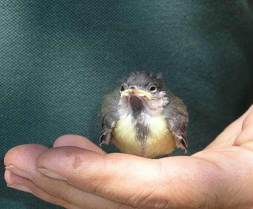 Le contact entre un être humain et un oisillon juste après la naissance de ce dernier peut se conclure par l'établissement d'une empreinte sur ce dernier : l'oisillon considérera que l'être humain en question est sa maman. © Mariotto52 CC by-nc 2.0