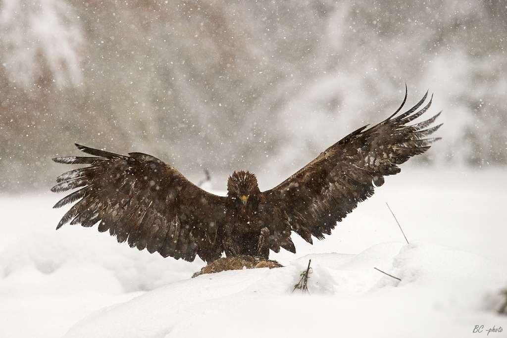 Les aigles sont de bons chasseurs. Ils sont agiles et rapides, et disposent de serres puissantes. Ils peuvent attraper des lapins, des marmottes et même des renards. © Bohuš Číčel, Wikipédia, cc by sa 3.0