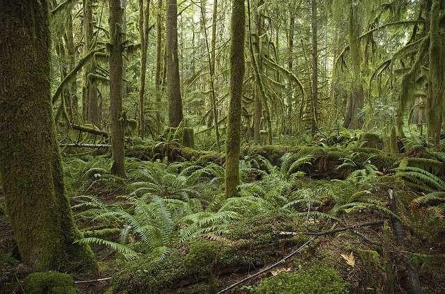 Une forêt tempérée ombrophile d'Amérique du Nord. © Brian Garret CC by-nd 2.0