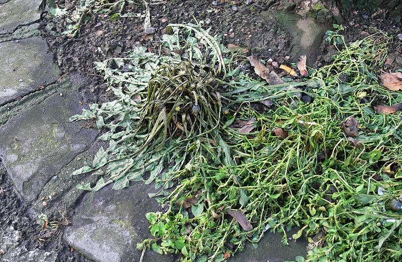 Mauvaises herbes après traitement thermique