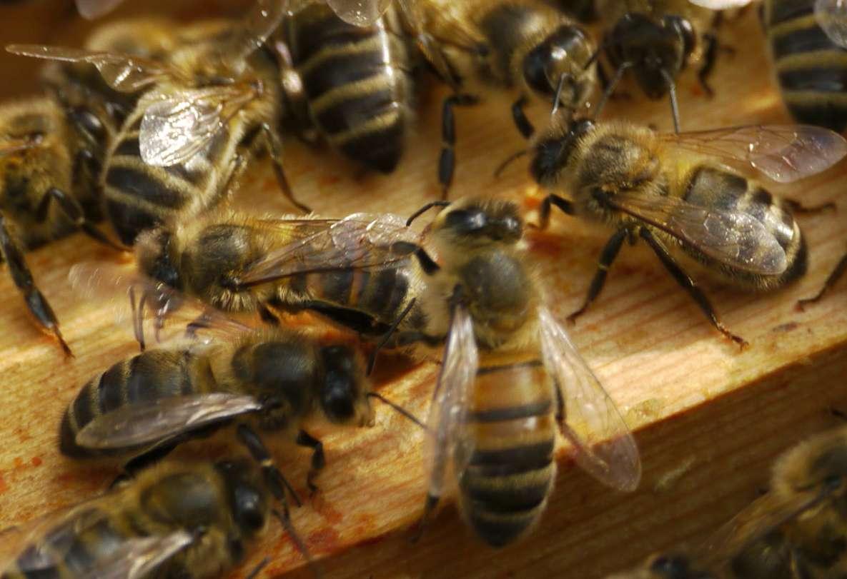 Les abeilles sont des insectes sociaux qui récoltent du nectar et du pollen pour se nourrir durant l'hiver. Au passage, elles pollinisent de nombreuses plantes, tout en étant régulièrement au contact de pesticides. © Christopher Connolly