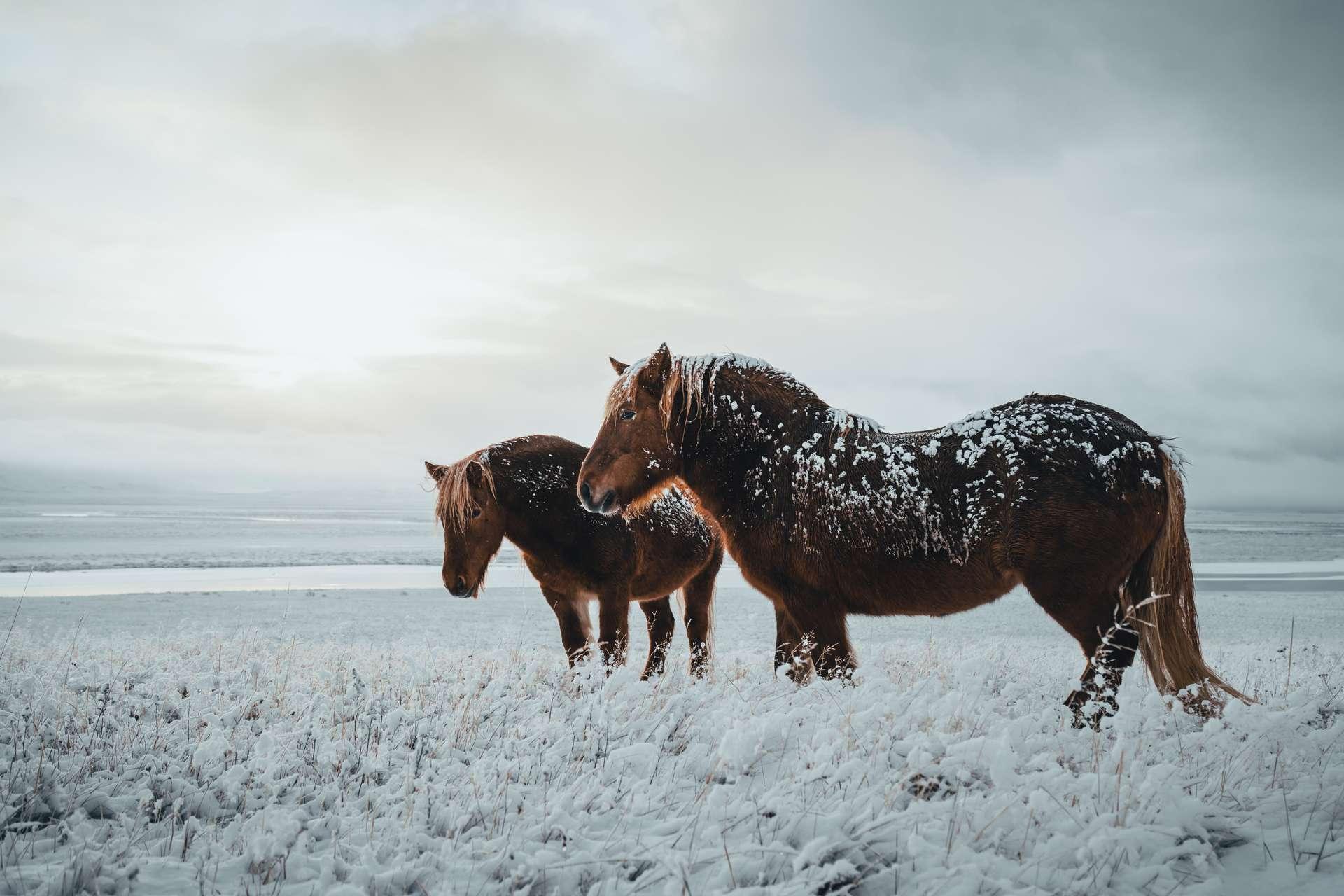 Les chevaux se sont adaptés à une multitude de climats. © Marek, Adobe Stock