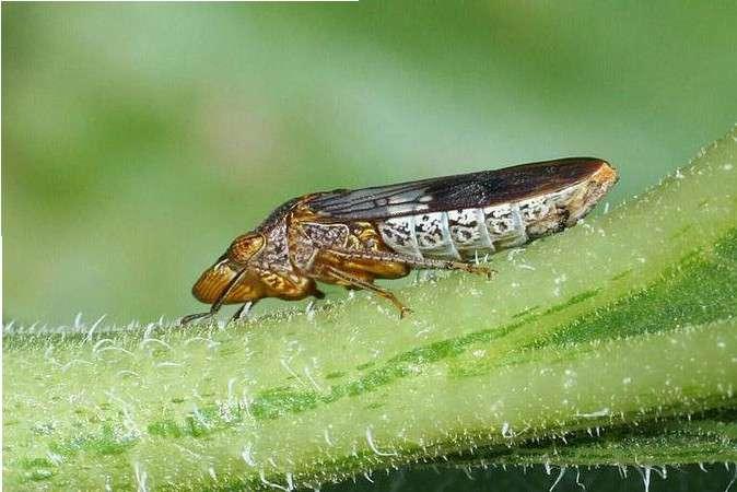 La cicadelle pisseuse (Homalodisca vitripennis), venue des États-Unis, est un vecteur très efficace de certaines souches phytopathogènes pour la vigne de la bactérie Xylella fastidiosa. © Russ Ottens, University of Georgia, Wikimedia Commons, CC by-sa 3.0