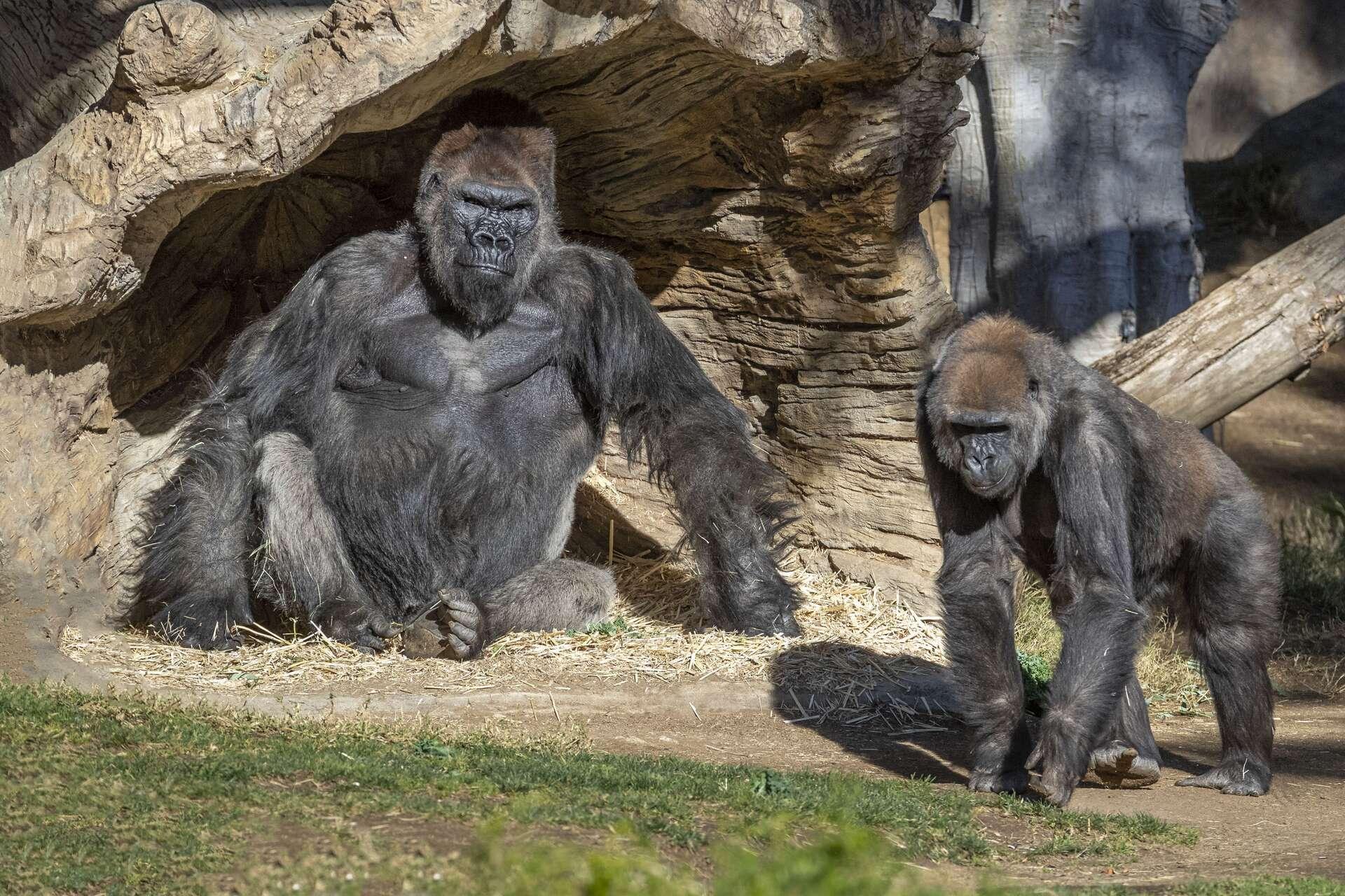 Deux des gorilles du Safari Park de San Diego. © Christina Simmons, Safari Park San Diego