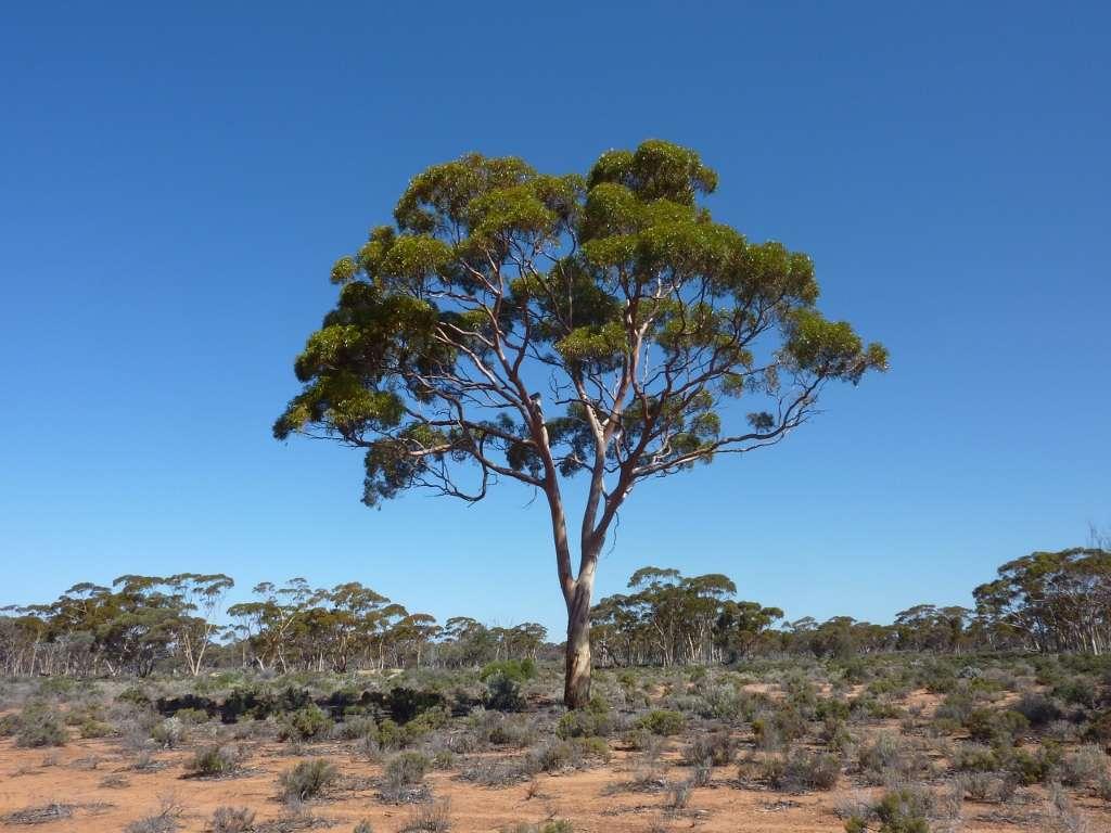 Cet eucalyptus présente une concentration anormalement élevée d'or dans ses feuilles, car il se situe à l'aplomb d'un gisement qui n'est pas exploité en raison de sa trop petite taille (les coûts d'extraction seraient trop importants). Avis aux amateurs… © Melvyn Lintern