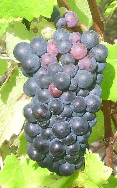 Grappe de Pinot noir. © Mpmpmp, Wikipédia CC by sa 3.0