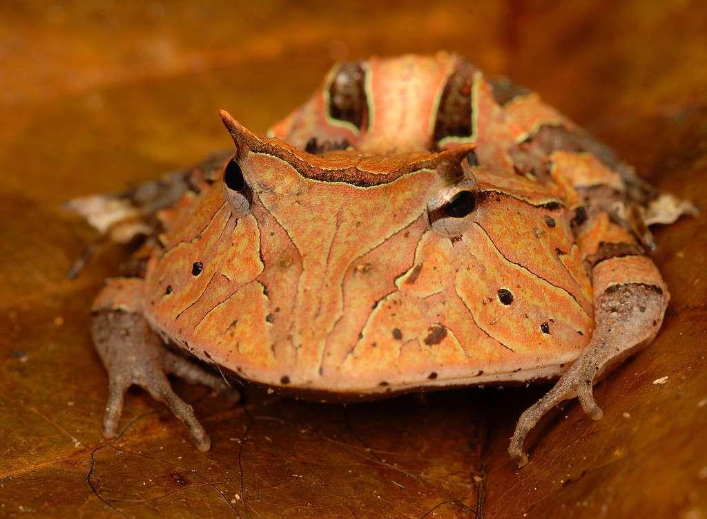 La grenouille Pac-Man, Ceratophrys cornuta, chasse à l'affût et gobe efficacement ses proies (des insectes) grâce à son énorme bouche. © Trond Larsen