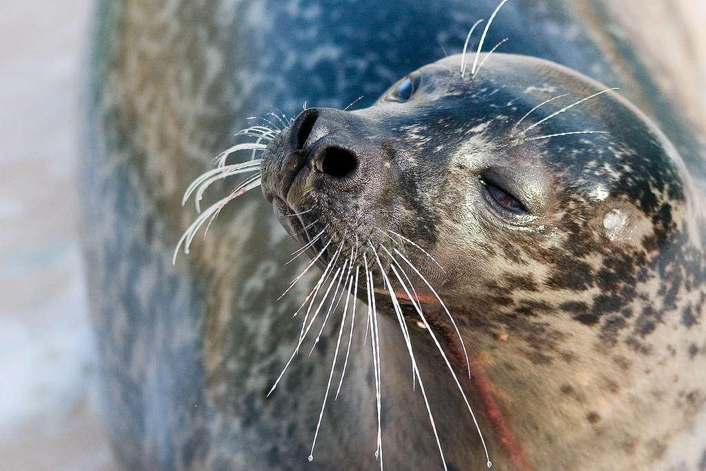 Les moustaches sont plus correctement appelées vibrisses chez les phoques, ou même chez le cheval, le chat, le rat ou le chien. Le phoque commun possède également des vibrisses au-dessus des yeux. © VanDerMouche, Flickr, cc by nd 2.0
