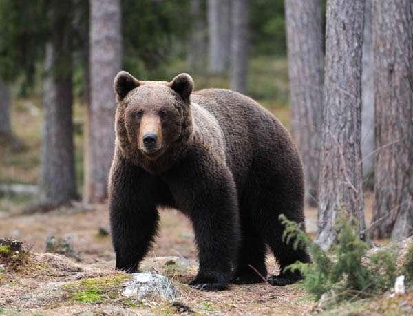 L'ours brun peut peser 130 à 700 kg. Debout, il peut atteindre une taille comprise entre 1,5 et 3,5 mètres. © Daniele Colombo, Flickr, CC by-nc-sa 2.0