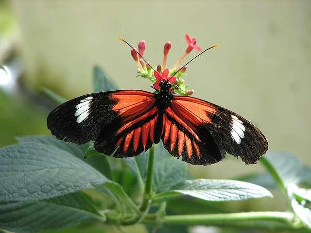 La couleur des ailes des espèces de papillons du genre Heliconius est dictée par l'expression d'un seul gène. © Wildcat Dunny, Flickr, CC by 2.0