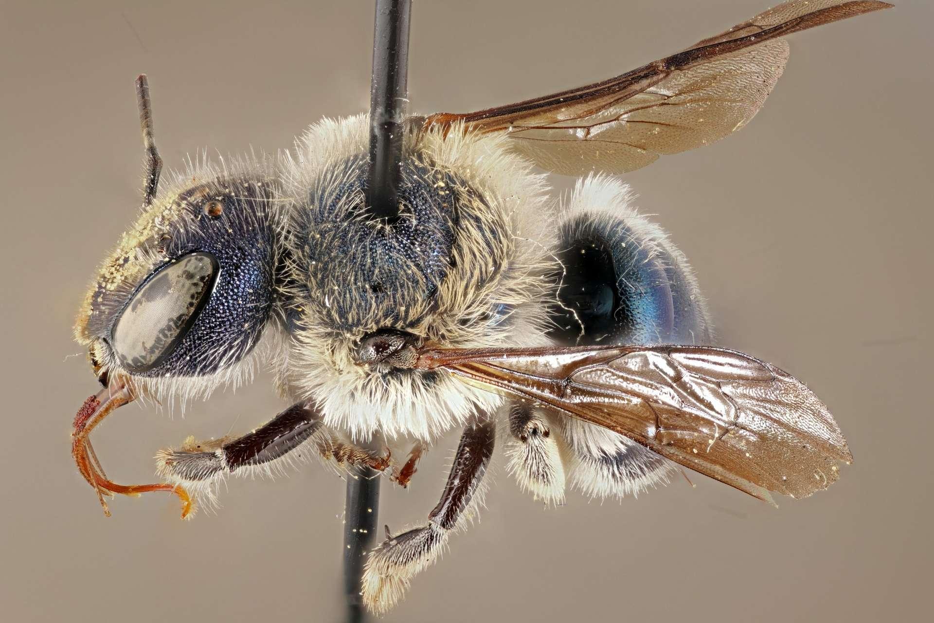 Un spécimen d'abeille bleue capturée près du Lac Placide en Floride. © Florida Museum, Chase Kimmel