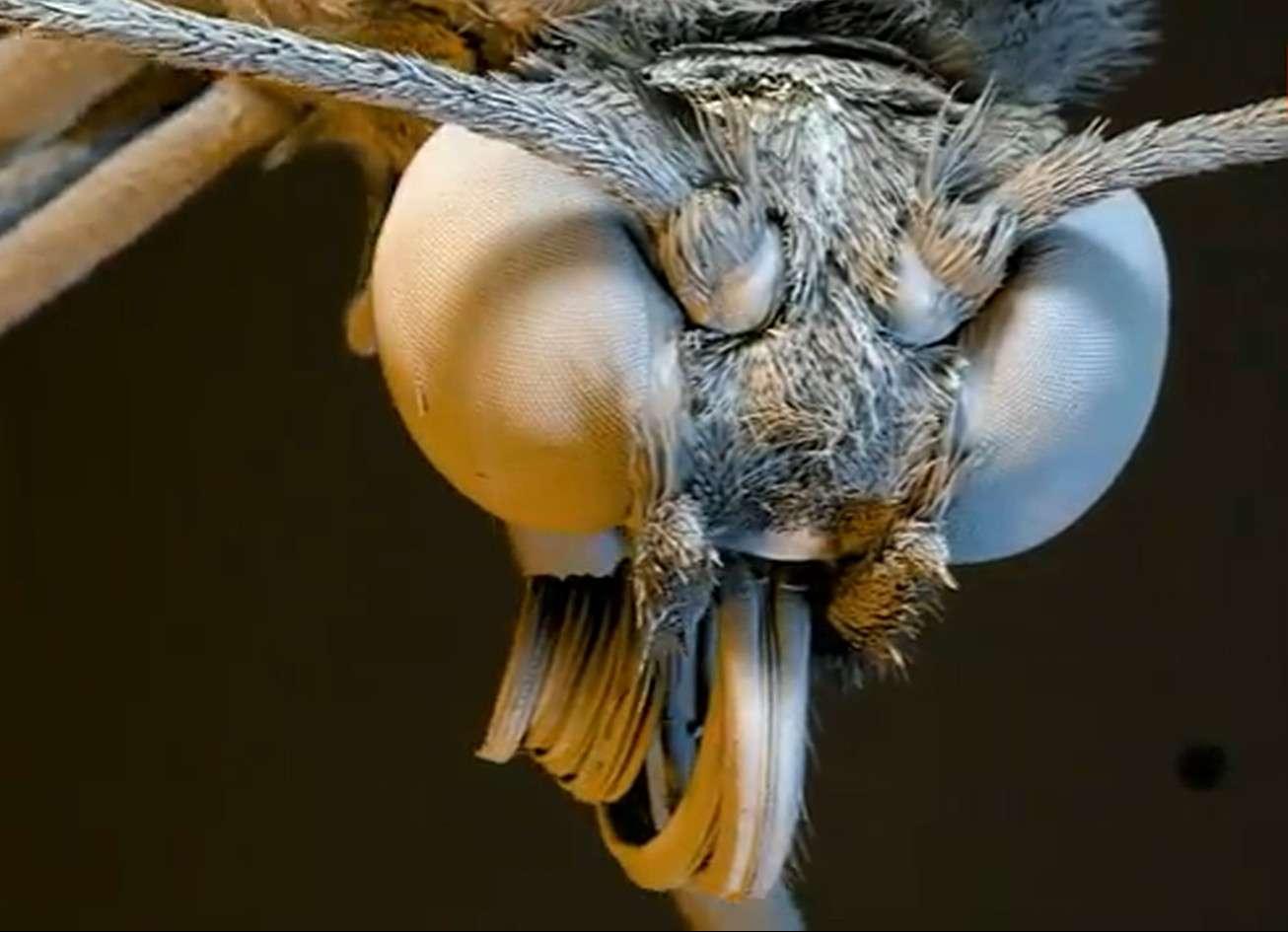 La tête d'un papillon aux ailes de verre vue par microscope électronique à balayage. © Capture d'écran, Barcroft TV, YouTube
