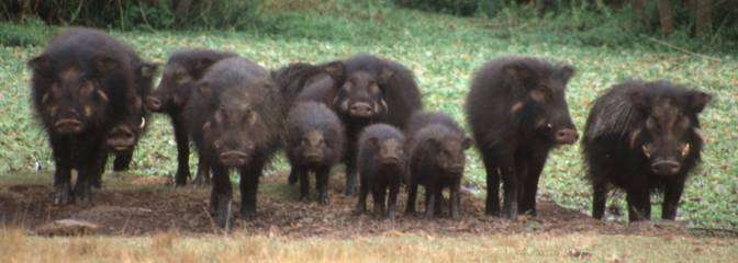 Troupe d'hylochères. Ces animaux sont craintifs et peu faciles à observer. © S. Fimpel, Wikipédia, GNU 1.2