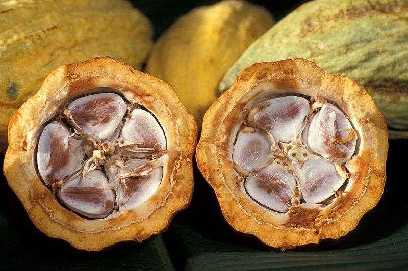 Présents aussi dans les feuilles de thé et certains fruits et légumes, les flavanols des fèves de cacao (ici au centre de la cabosse) sont déjà reconnus pour augmenter les performances du cerveau. Ils stimuleraient aussi la mémoire et seraient bons pour le cœur. © Keith Weller, USDA ARS-dp, Wikimedia Commons