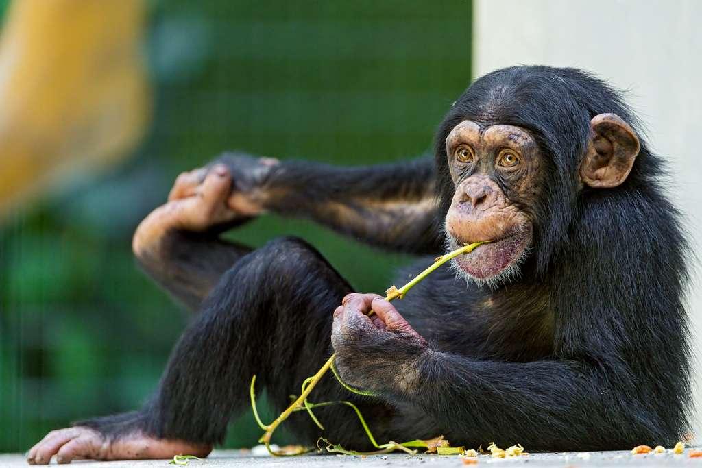 Voilà plus de 20 ans que l'automédication des chimpanzés est étudiée. L'objectif : développer de nouveaux médicaments pour... l'Homme. © Tambako the Jaguar, Flickr, cc by nd 2.0