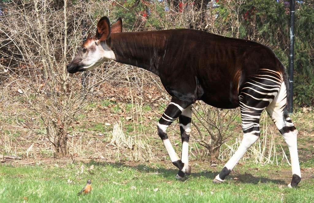 Okapi au zoo de Powell dans l'Ohio, aux États-Unis. © OZinOH, Flickr, cc by nc 2.0