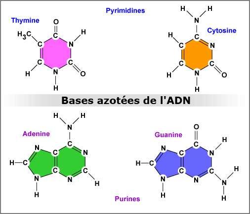 Les bases azotées constituant l'ARN et l'ADN. L'ARN ne contient pas de la thymine cependant et l'uracile est spécifique à l'ARN. Crédit : Gary E. Kaiser