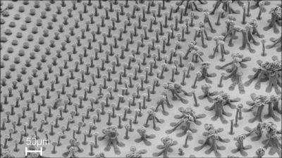Pour réaliser de jolis faisceaux bien denses, prenez garde à leur longueur initiale. A gauche de la surface (et en haut sur l'image), les nanotubes étaient trop petits : la densification n'a produit que des moignons sans intérêt.