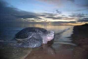À l'image, une tortue Luth venant pondre sur la plage de Yalimapo en Guyane française. Ce reptile peut peser 800 kg. © Jean-Yves Georges
