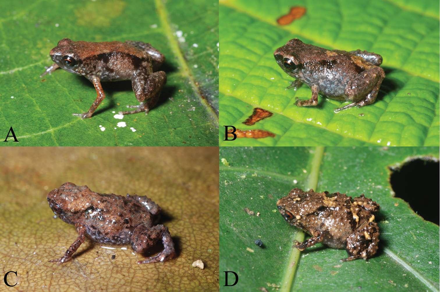 Paedophryne dekot et Paedophryne verrucosa s'ajoutent aux quelque 5.850 espèces d'anoures déjà décrites. © Fred Kraus 2011, Zookeys