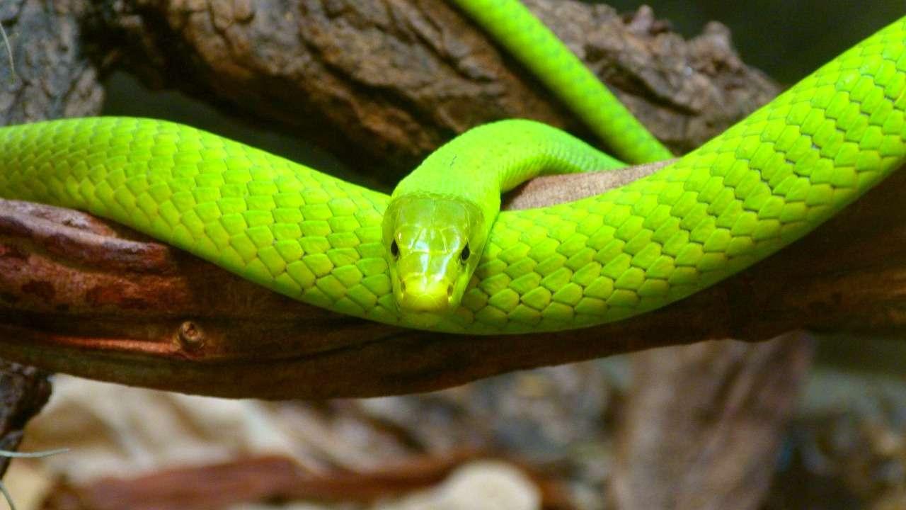 Les serpents, ces lépidosauriens, comptent parmi les reptiles, comme les tortues ou les crocodiles. © PeterKraayvanger, pixabay.com, DP