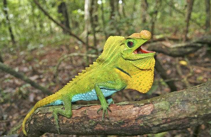 Lyriocephalus scutatus est une espèce de reptiles endémique au Sri Lanka. Elle est actuellement classée en préoccupation mineure par l'UICN, mais cela pourrait bien changer rapidement. © Ruchira Somaweera