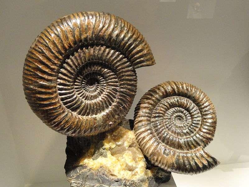Les ammonites sont des animaux fossiles disparus lors de la crise Crétacé-Tertiaire. © Daderot, Wikimedia Commons, DP