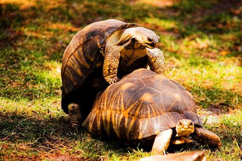 Les tortues mâles expriment une forme de plaisir en tirant la langue et en poussant des cris durant l'acte sexuel. Est-ce réellement une forme de jouissance ? © Fabien Dany, Wikipédia, cc by sa 2.5