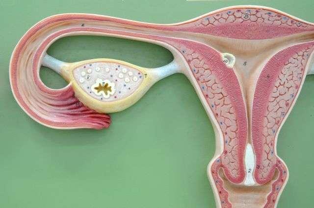 Les ovaires sont le lieu de production et de maturation des ovocytes. Ils sont sensibles à plusieurs hormones circulantes qui définissent l'état du cycle menstruel à partir de la puberté. La fertilité des femmes dépend d'un bon fonctionnement de tous ces composants. Le fait que cette jeune patiente ait atteint la puberté après autogreffe des tissus ovariens tend à montrer que l'activité des ovaires est normale, et qu'elle peut espérer avoir un jour des enfants. © Tinydevil, shutterstock.com